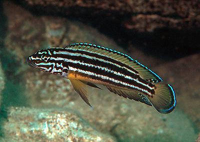 Julidochromis-regani-3[1]