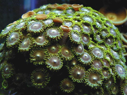 a_zoanthus_pulchellus_green_button_polyps2602[1]