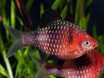 Barbus-nigrofasciatus[1]