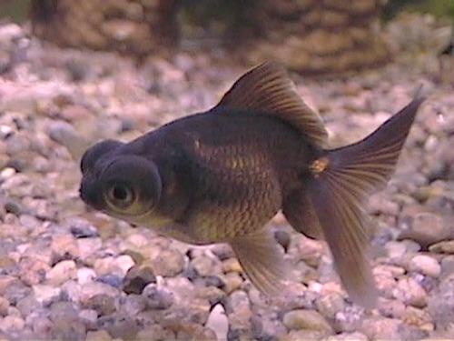 gold-fish-moro[1]
