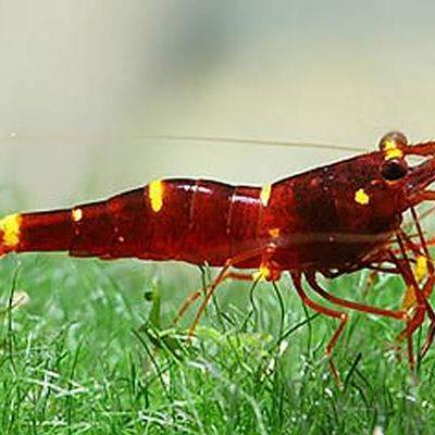 Caridina cardenal lago tuwuti sav