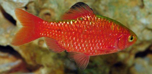 Barbo conchonius