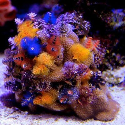 CORAL DURO SPS