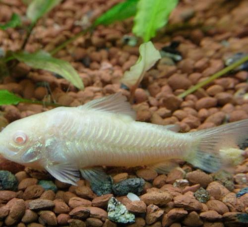 corydora-albina[1]