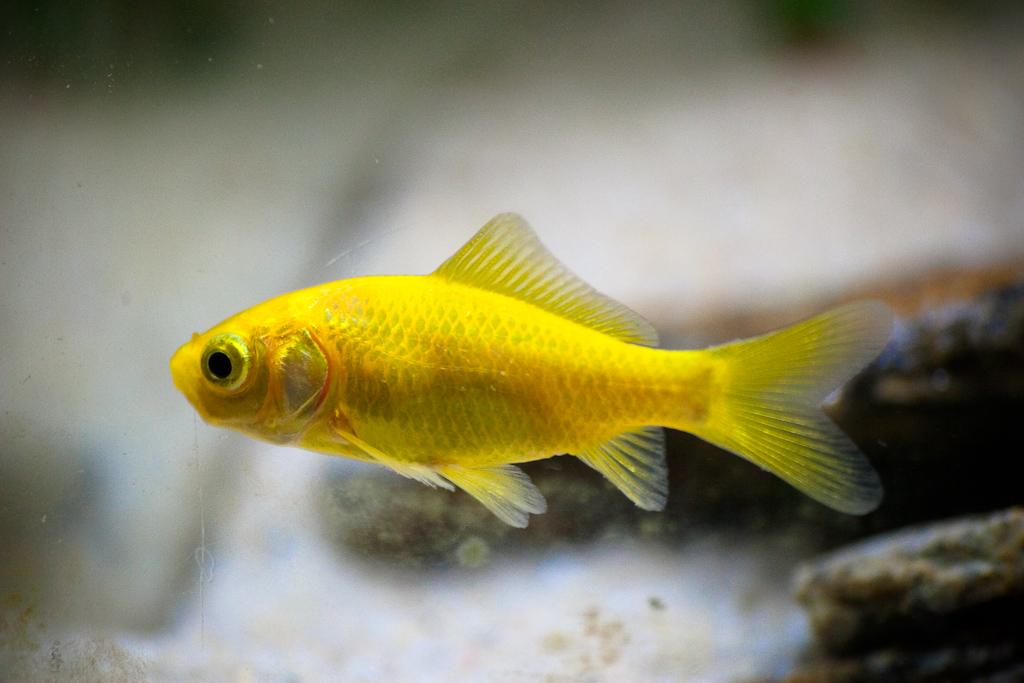 Cometa amarillo sociedad acuari fila valenciana for Variedades de peces de agua fria para acuario