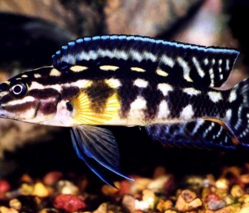 Julidochromis-marlieri-1[1]