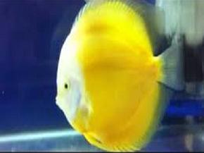 disco yellow white2