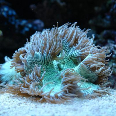 CORAL DURO LPS