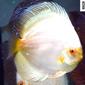 ALBINO WHITE BUTTERFLY SAV