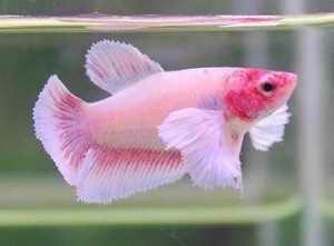 BETTA HEMBRA DUMBO BLANCA